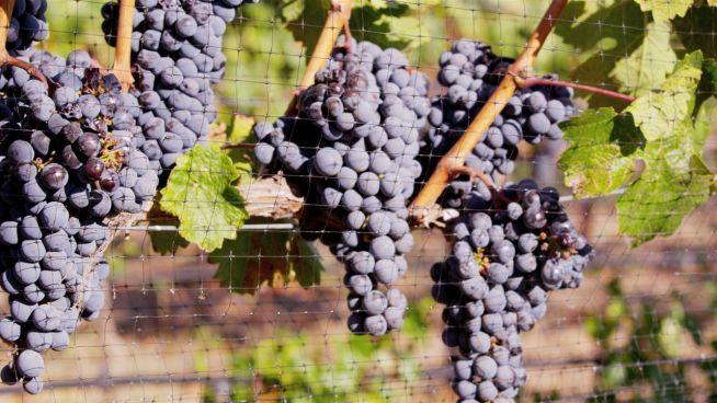Wie sich der Weinanbau in Zukunft verändert